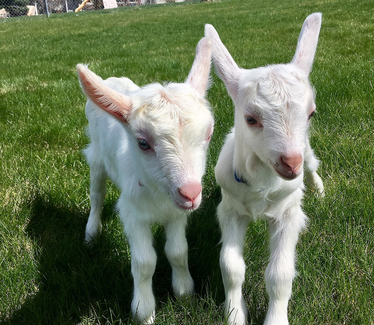 Our goats, Wattles (blue) and Flash (red)