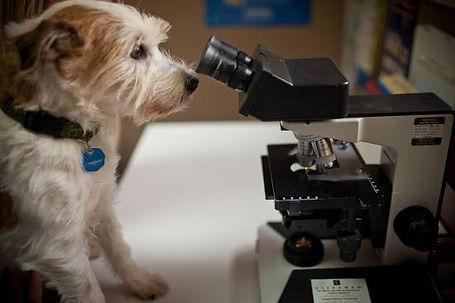 1365629215-dog_looking_down_microscope.j