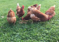 chickenss