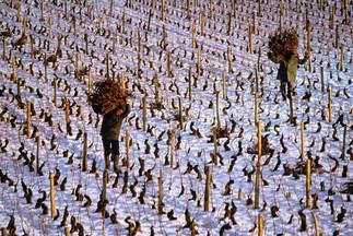 Taille de la vigne - Morey st Denis - Hiver.