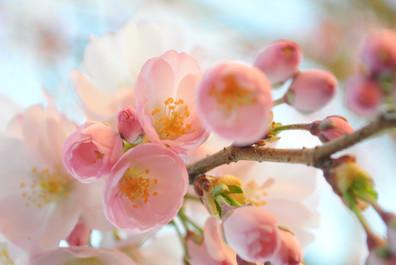 Cerisier japonais en fleur.