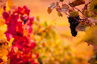 Pinot noir - Automne.