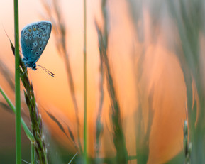 Papillon Bel Argus - Crépuscule