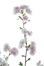 Sakura - Cerisier japonais en fleur.