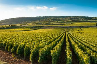 Vignes de la côte de Beaune.