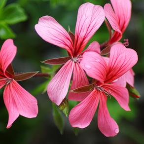 Anti-Aging Benefits of Geranium and Palmarosa