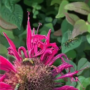 Augochlora pura on Bee Balm (Green Sweat Bees)