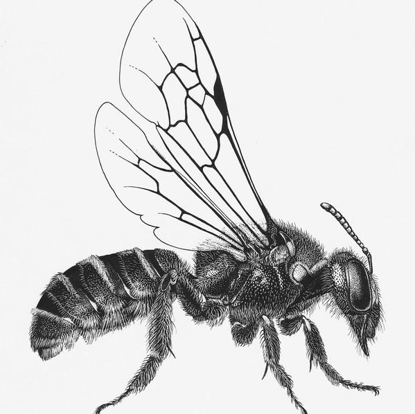 Andrenidae Protandrena mexicanor