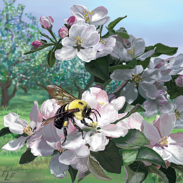 Bombus on Malus – Bombus impatiens on Apple Blossoms