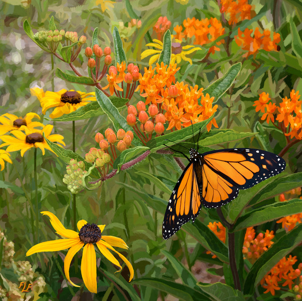 Newly Emerged Male Monarch on Asclepias tuberosa (Butterfly weed)