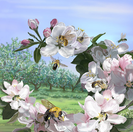Wild Pollinators on Apple Blossoms