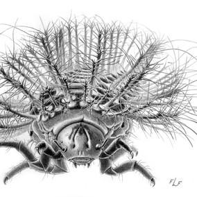 Beetle larva, Brazil