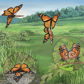 Monarch Mating Sequence