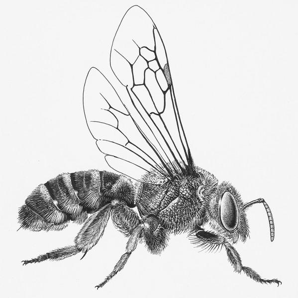 Halictidae Agapostemon
