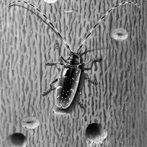 Asian Longhorned beetle laying eggs on maple bark