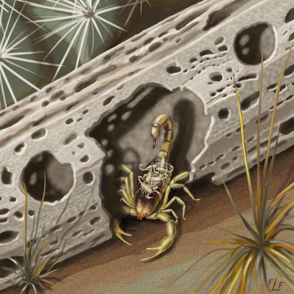Giant Hairy Desert Scorpion, and Young – Hadrurus arizonensis