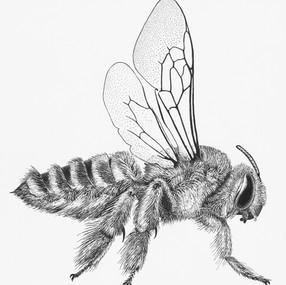 Megachilidae Fidelia pallidula