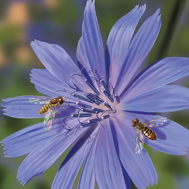 Taxomerus marginatus on Chicory (Hover Flies)