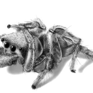 Habronattus dossenus (Jumping spider)