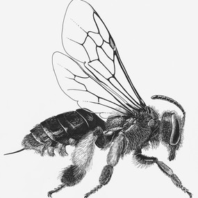 Macropis nuda
