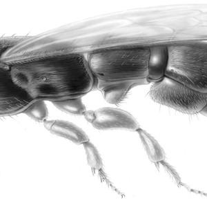Cylindromyrmex sp.