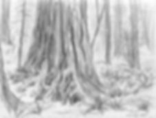 SketchMuirWoods2.png