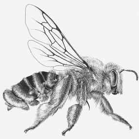 Melittidae Dasypoda argentata