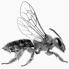 Andrena crataegi