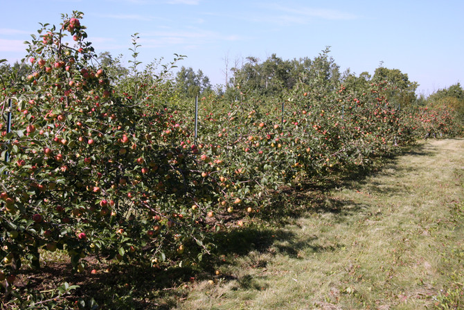 Attracted 2 Apples: an Apple Orchard in Alberta!