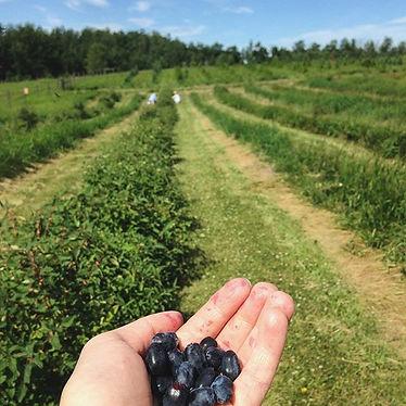 Local County Peters Honeyberries