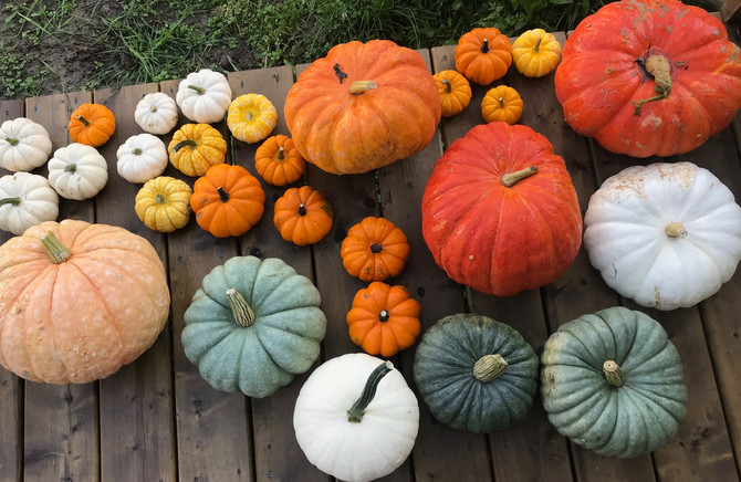 Somerset Farms: Pumpkin U-pick!