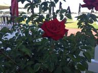 roses-on-display.jpg