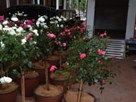 standard-roses.jpg