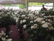 white-roses2.jpg