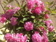 CroppedImage341341-roses.jpg