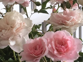 Roses, standard and bush, in Decorative Pots