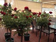 living-red-roses.jpg