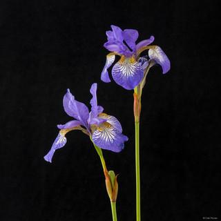 2 Irises