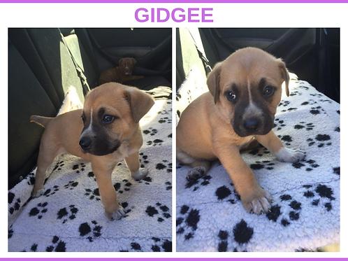 Gidgee