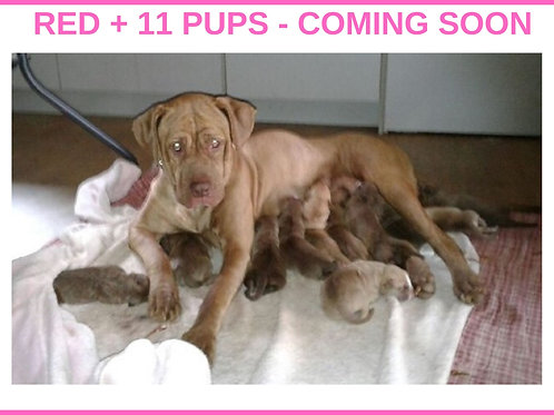 Red + 11pups