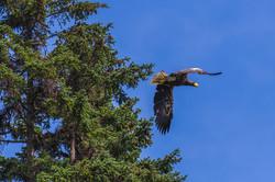 Сахалин - Белоплечий орлан