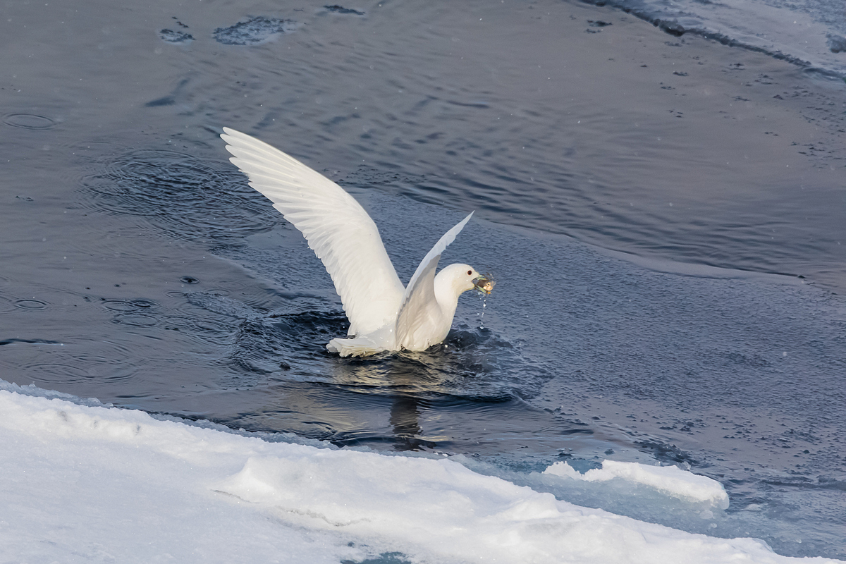 Белая чайка. Земля Франца Иосифа