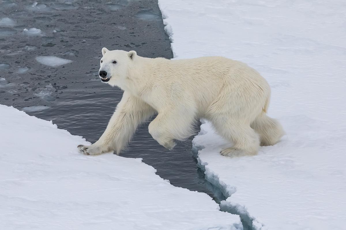 Белый медведь. Земля Франца Иосифа