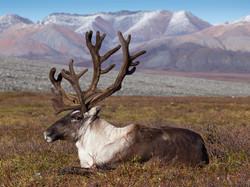 Якутия. Северный олень