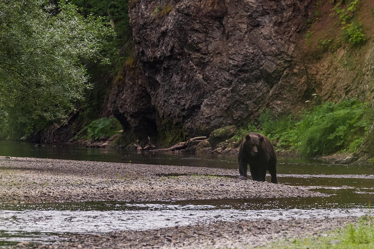 Сахалин - Медведь на реке Богатая