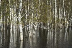 Васягина_Юганский заповедник Затопленный лес_1