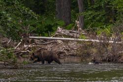Сахалин - Медведица уводит медвежонка