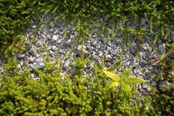 Остров Кунашир - бамбучник и шикша