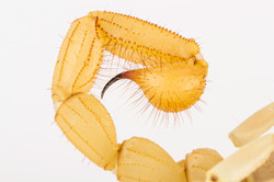 Hadrurus arizonensis-4870