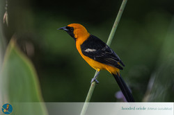 Copy of hooded Oriole